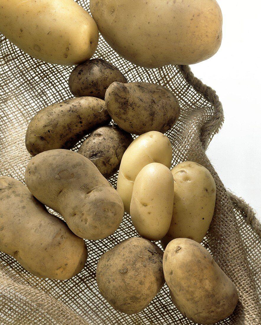 Several different potato varieties on jute background