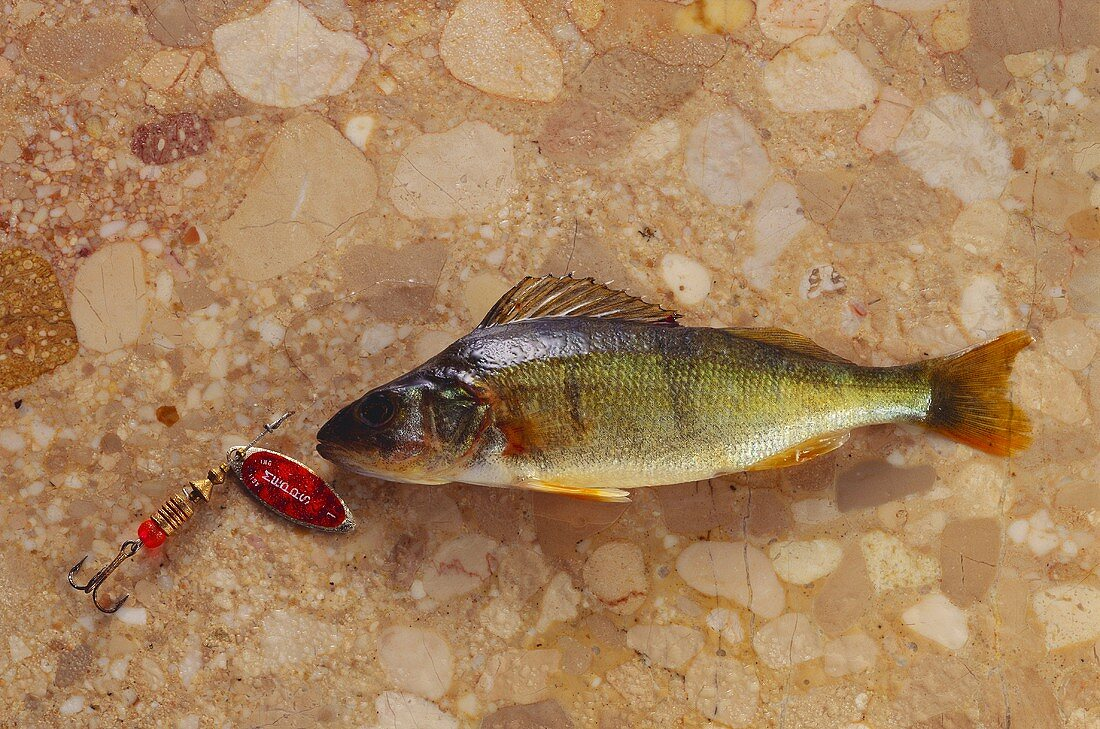 Stunted perch on brown marble