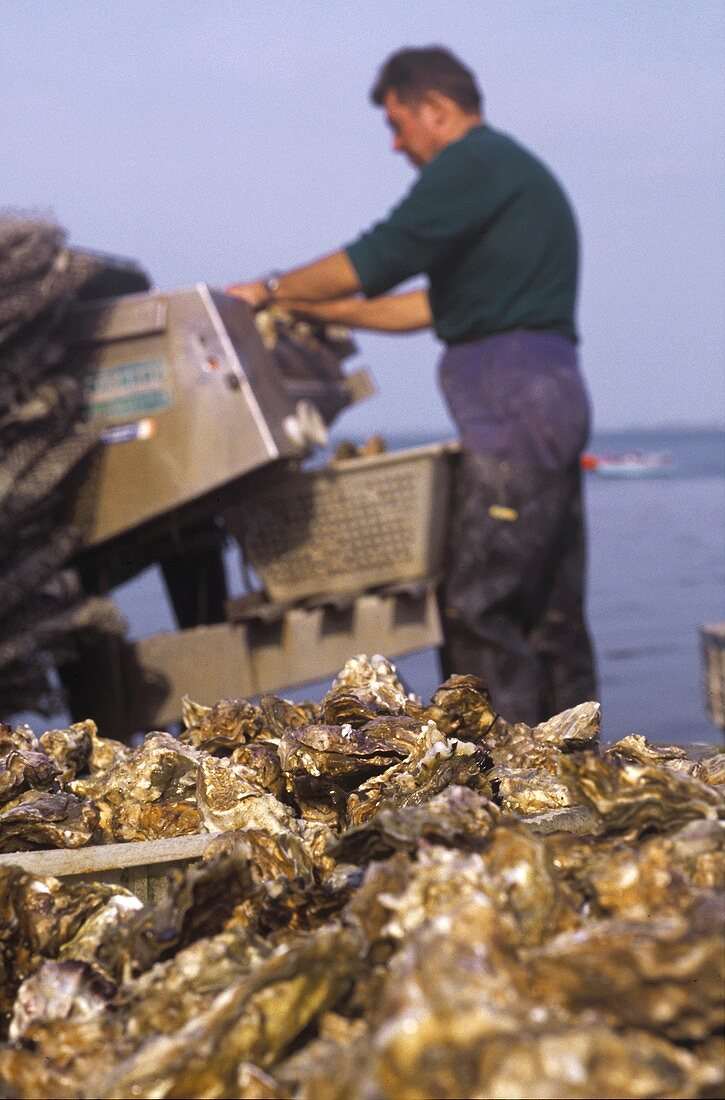 Man filling plastic baskets with fresh oysters