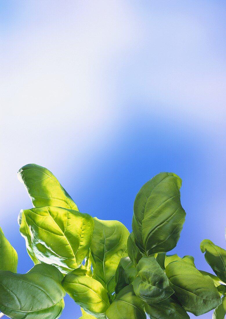 Fresh basil against a blue sky