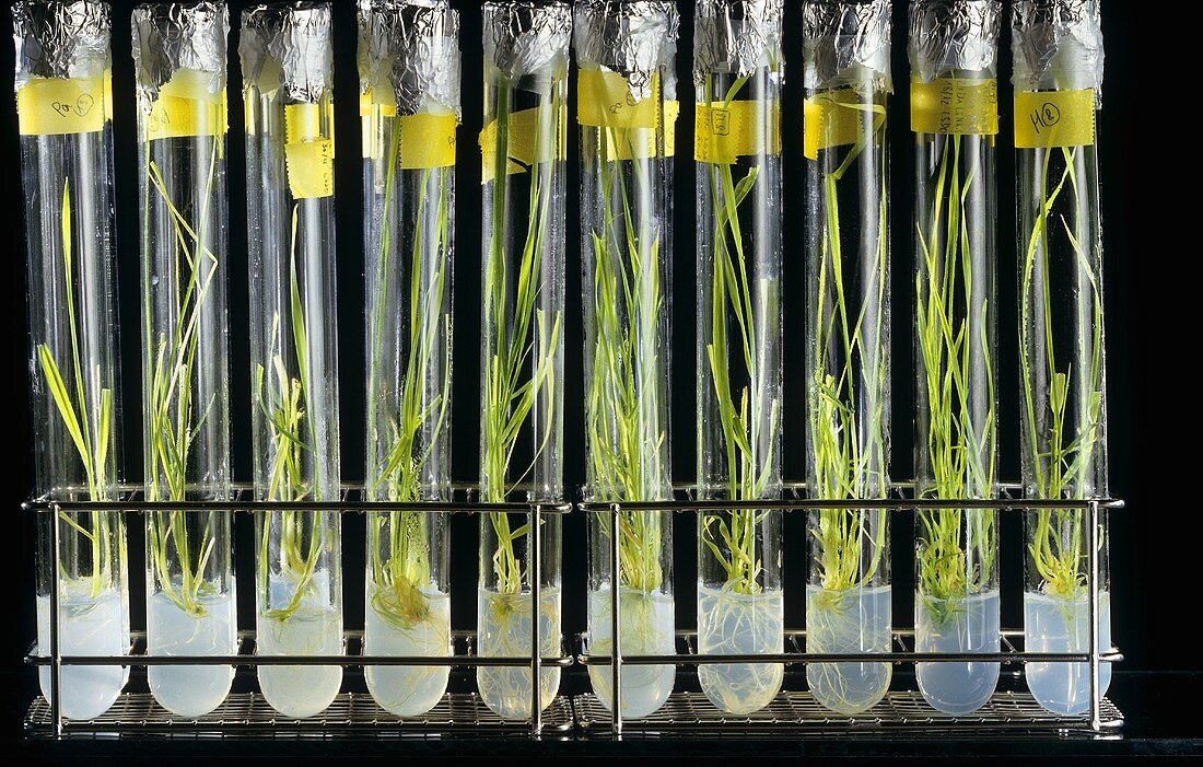 In vitro cultures of cereals in test-tubes