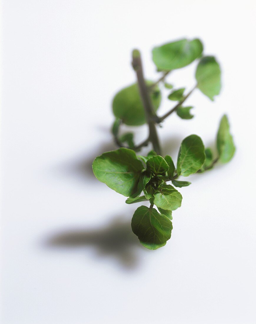 A Sprig of Watercress