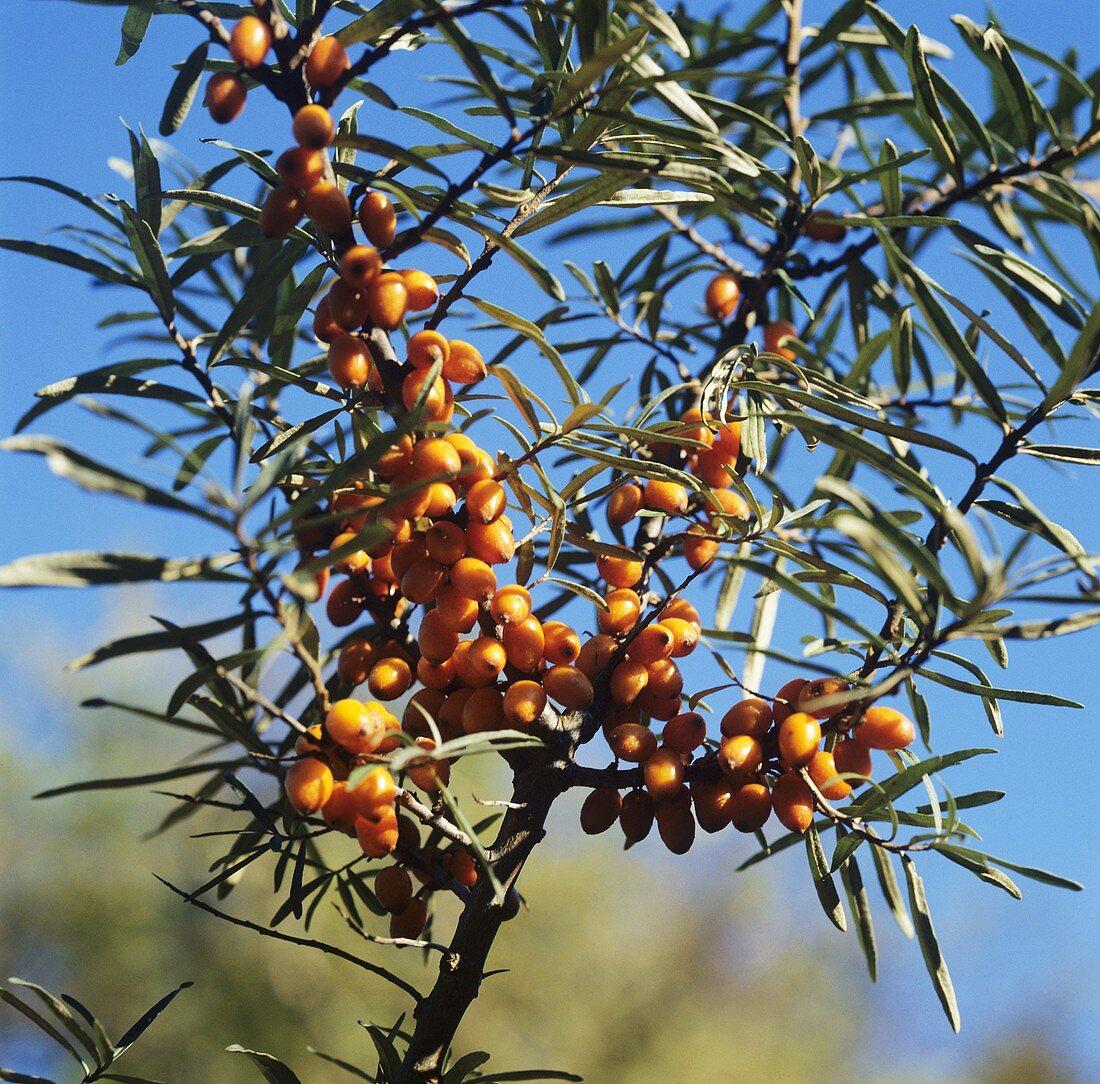 Sea buckthorn berries on bush