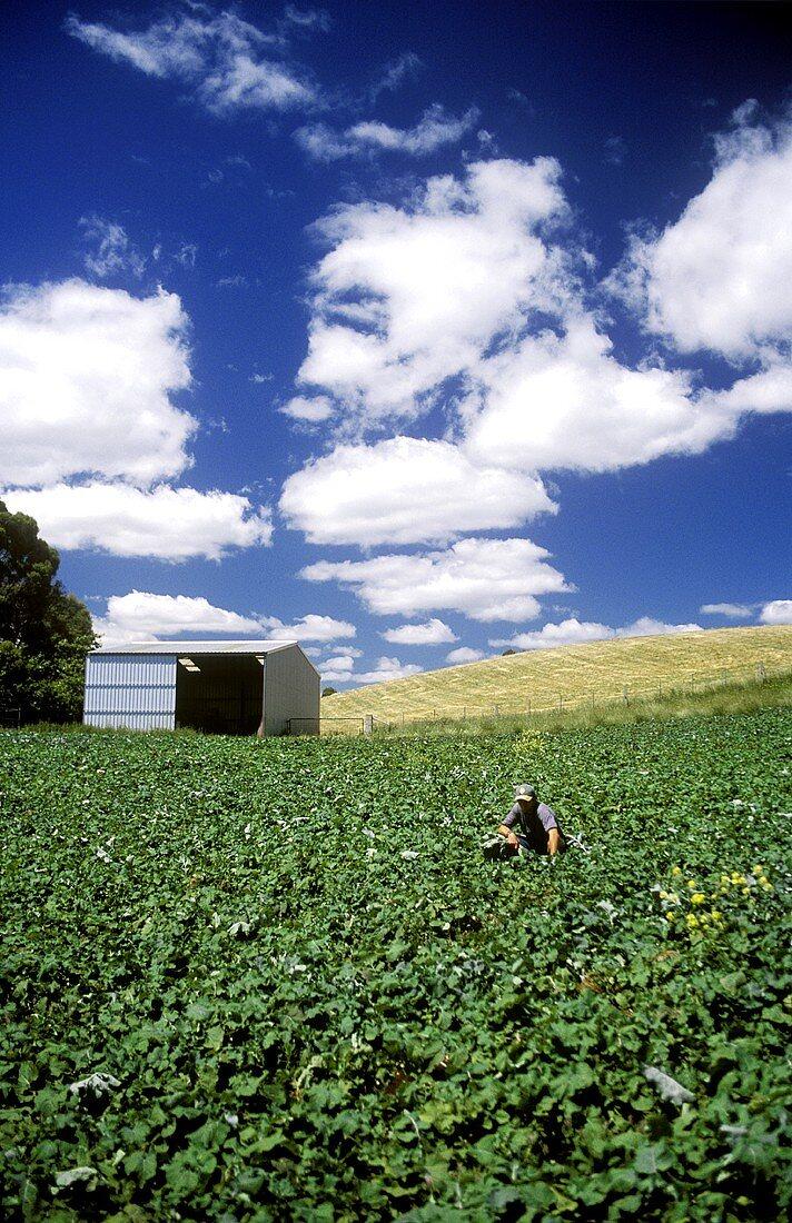 Vegetable farm in Australia