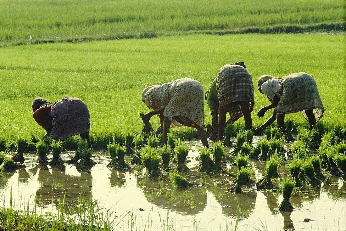 Women planting rice plants in field (Tamil Nadu, India)