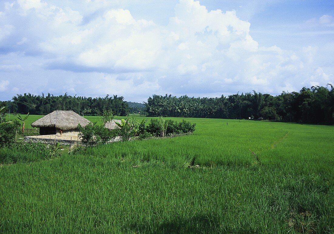 Paddy field (Wayanad, Kerala, India)