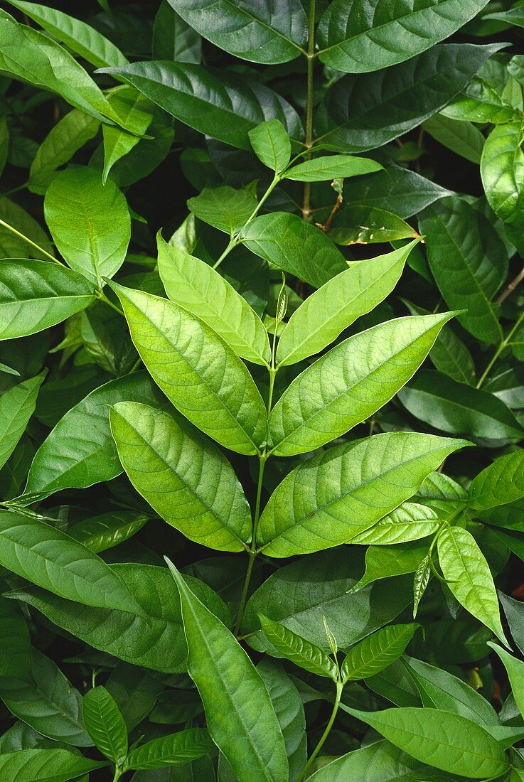 Asian medicinal plant: Kurchi (Holarrhena pubescens)
