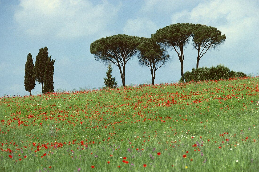 Trees in a field of poppies