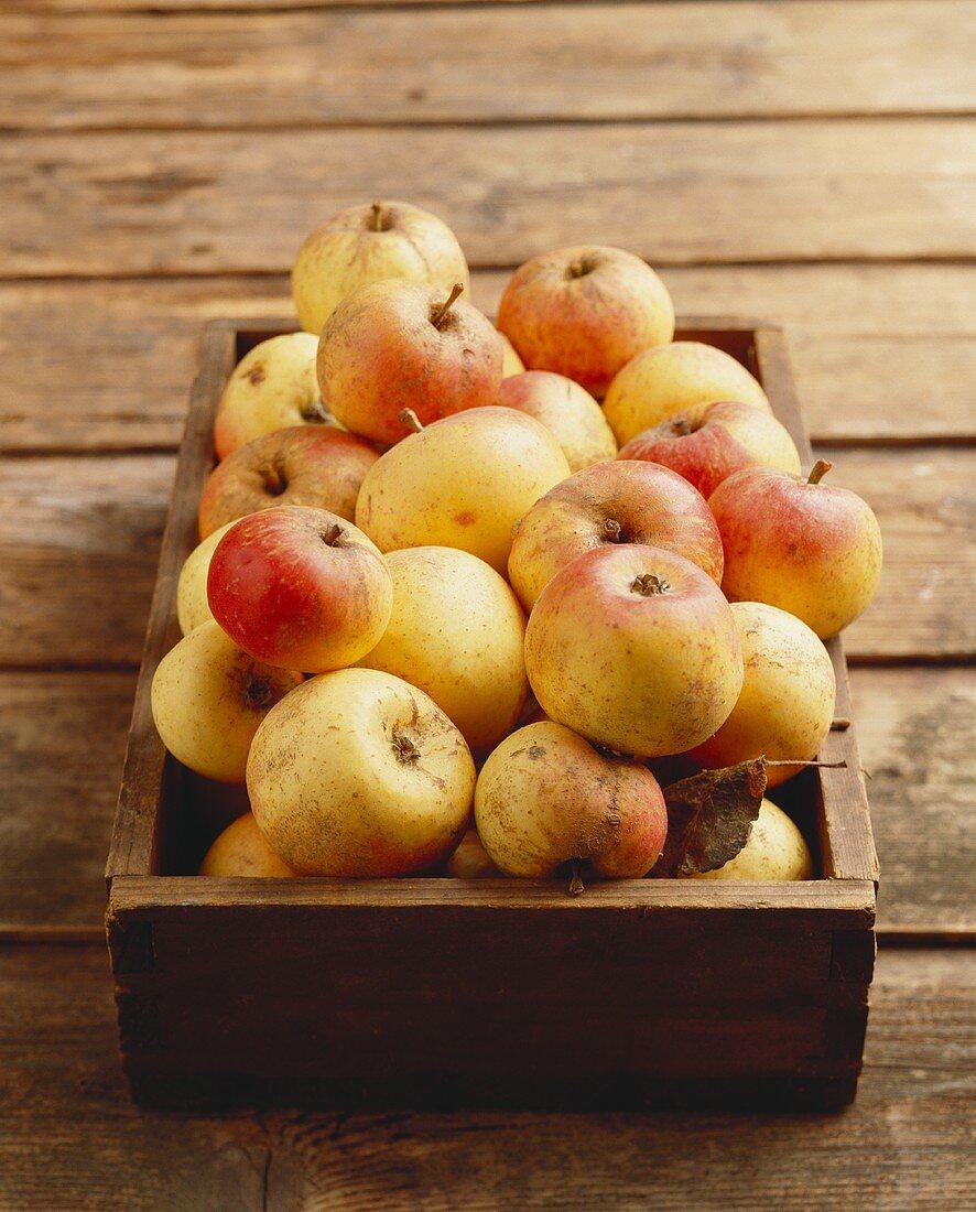 Äpfel (alte Apfelsorte Tofentine) in Holzkiste