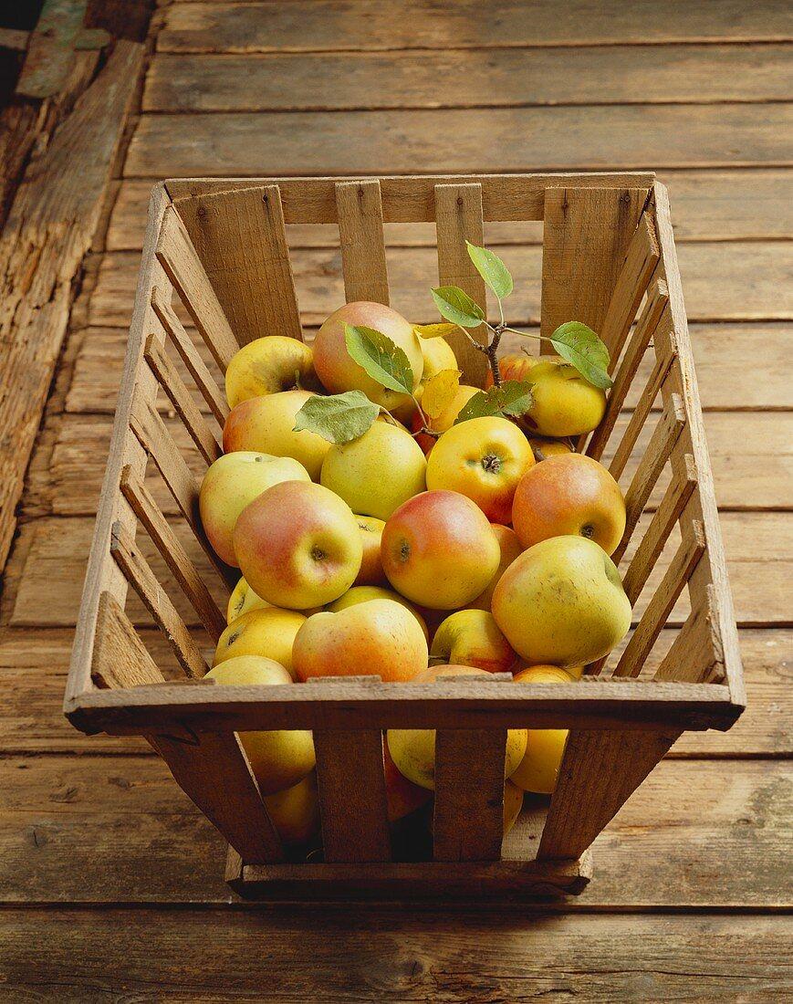 Frische Äpfel der alten Apfelsorte Maschansker in Holzkiste