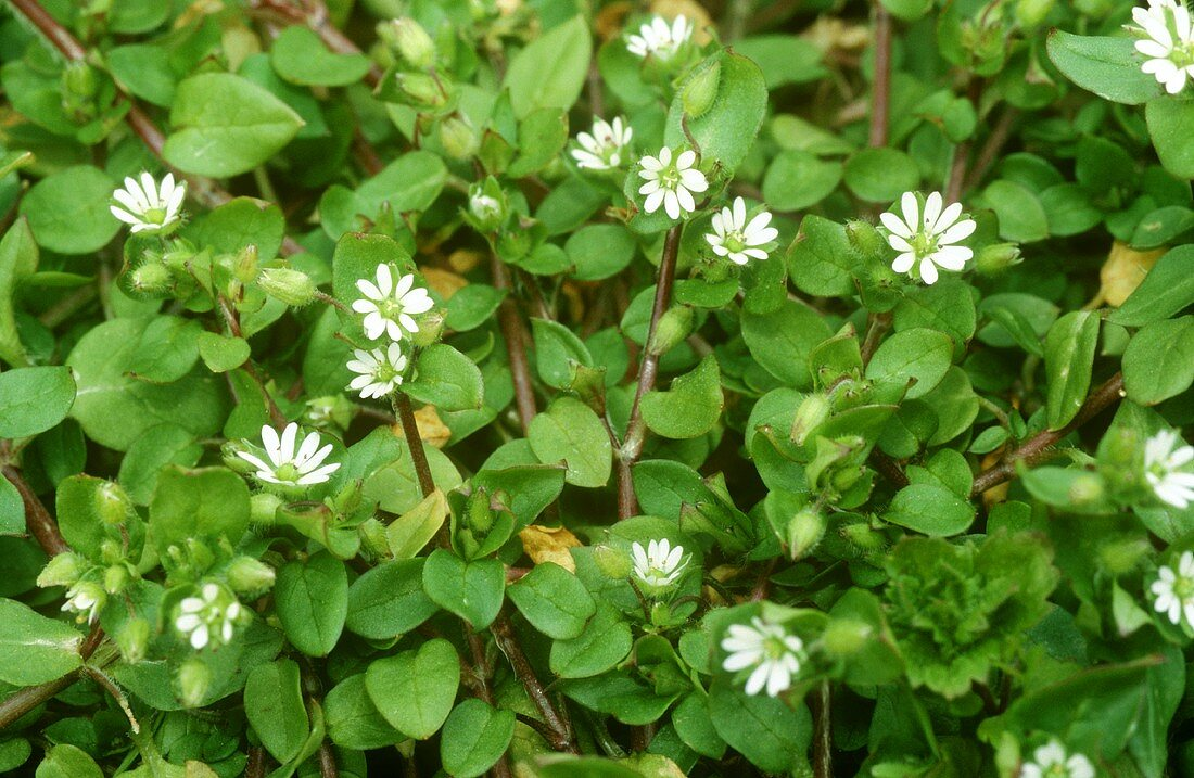 Chickweed with flowers