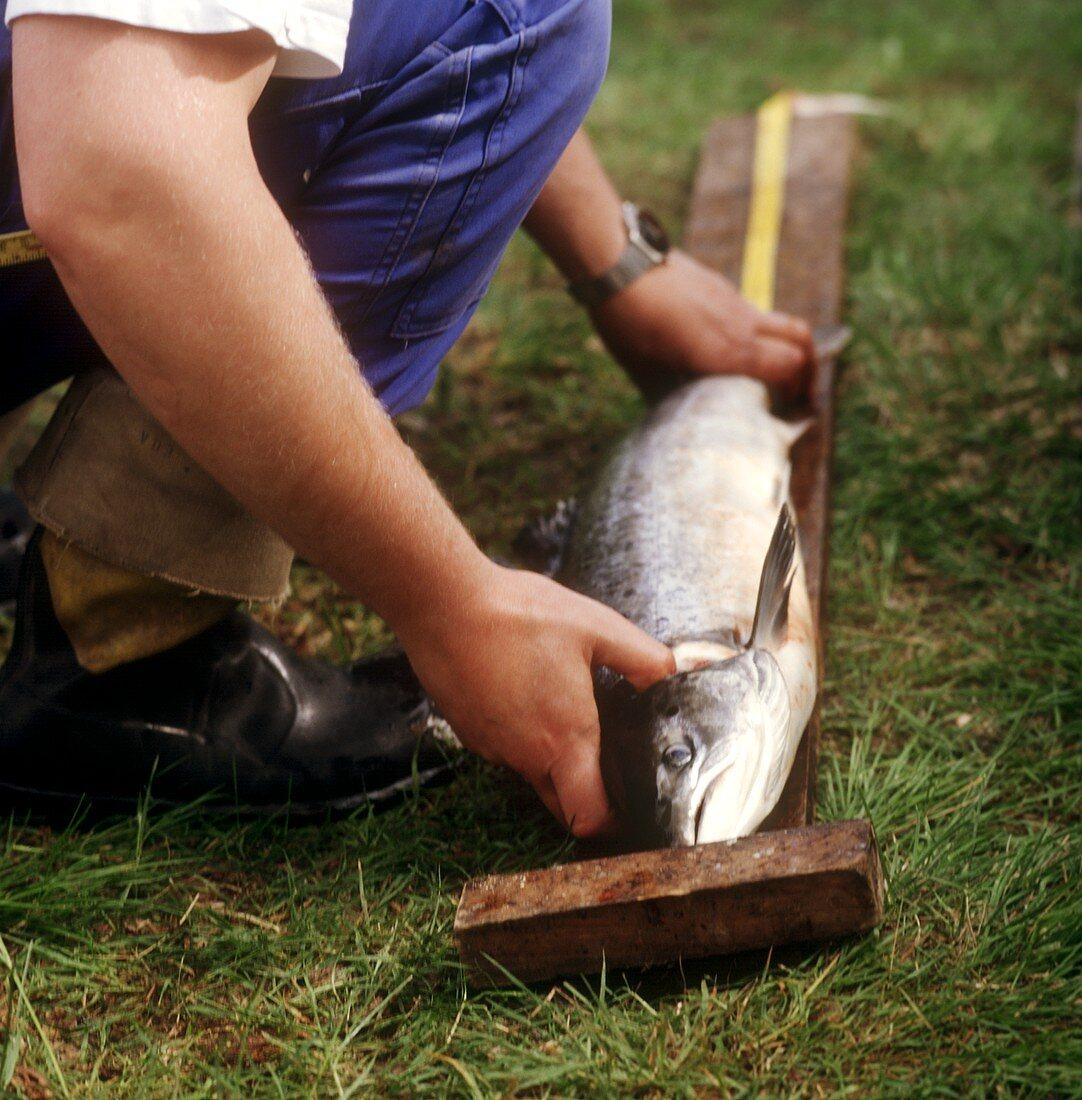 Measuring a Freshly Caught Salmon