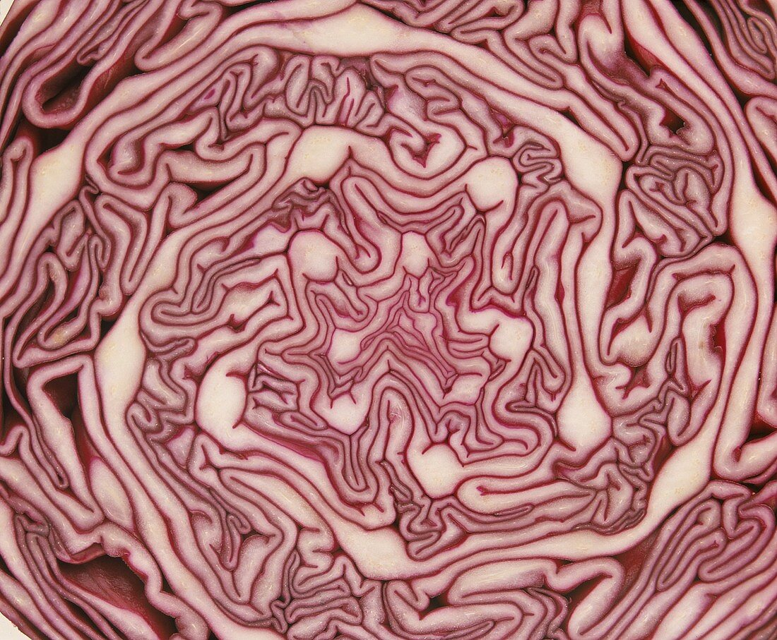 Red cabbage, a cross section (filling the picture)
