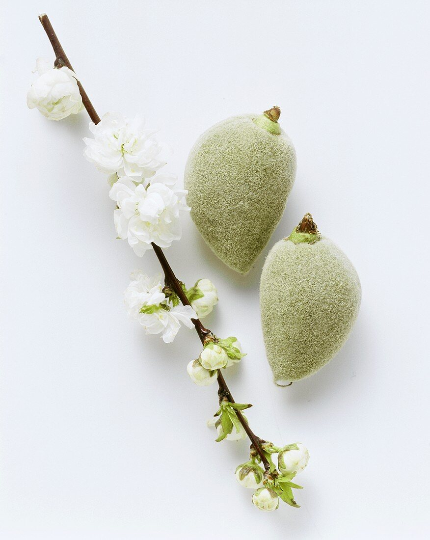 Two fresh almonds and a branch of almond blossom