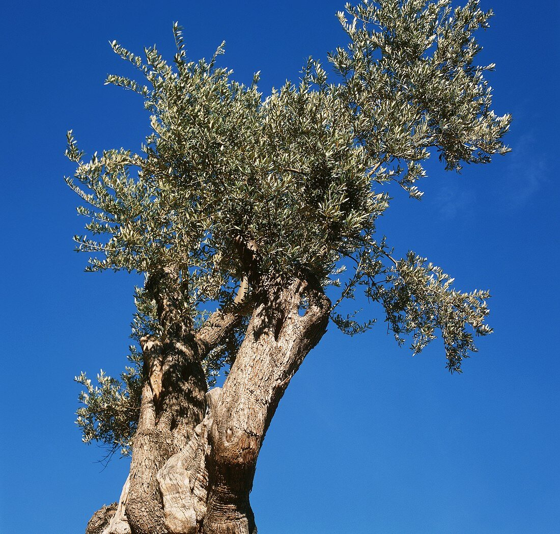 Olive tree against a blue sky