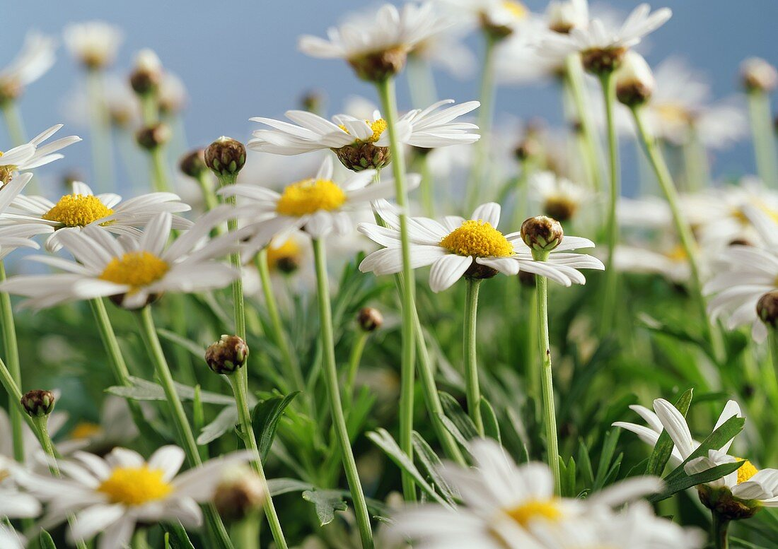 Marguerites in the meadow