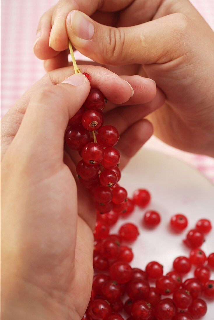 Stripping redcurrants from their stalks