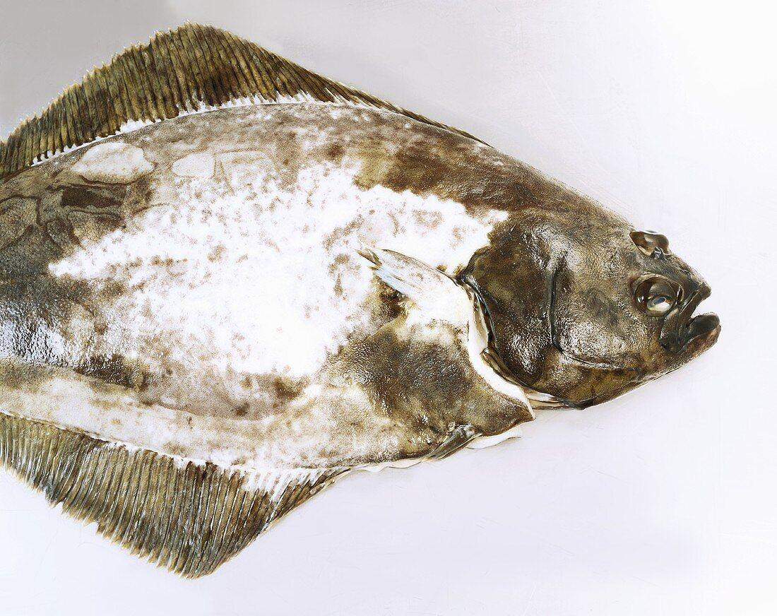 Fresh Atlantic halibut