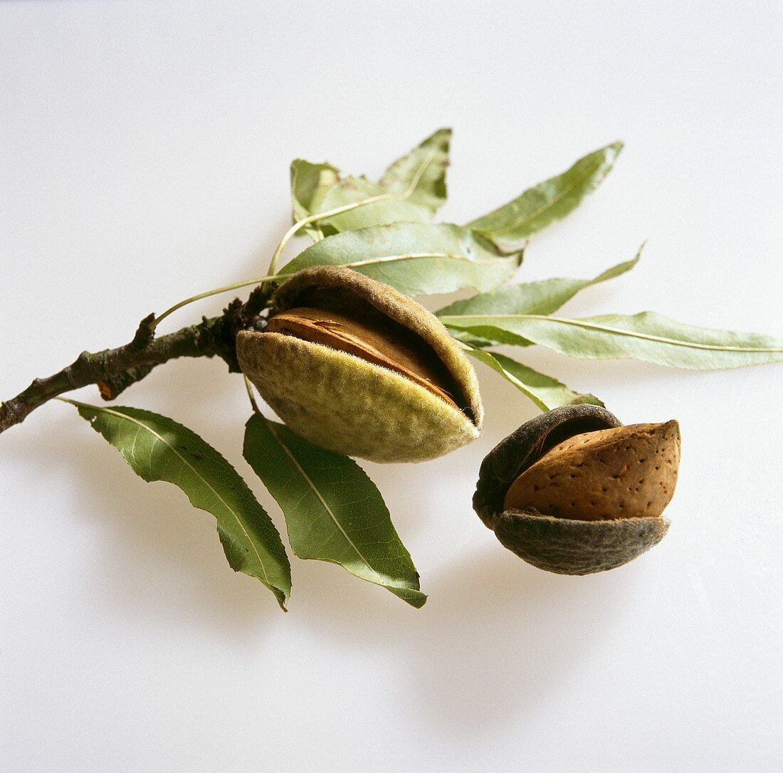 Almonds in their shells on twig