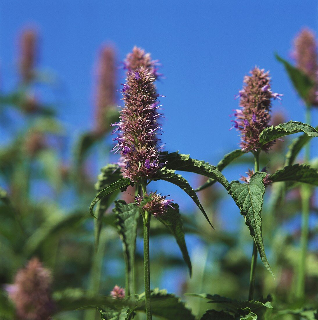 Anise hyssop (Agastache officinalis) with flowers