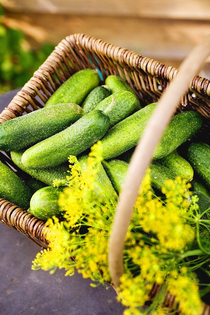 Pickling cucumbers and dill in a basket