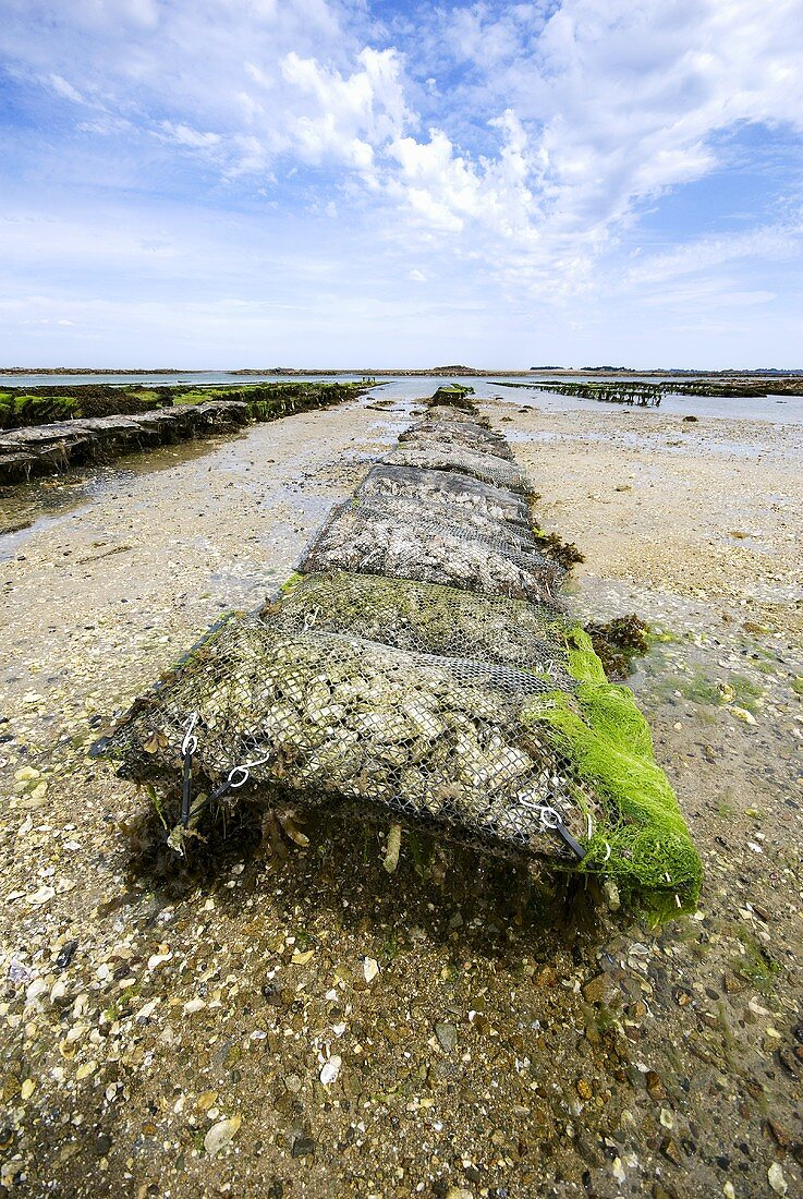 Oyster bed