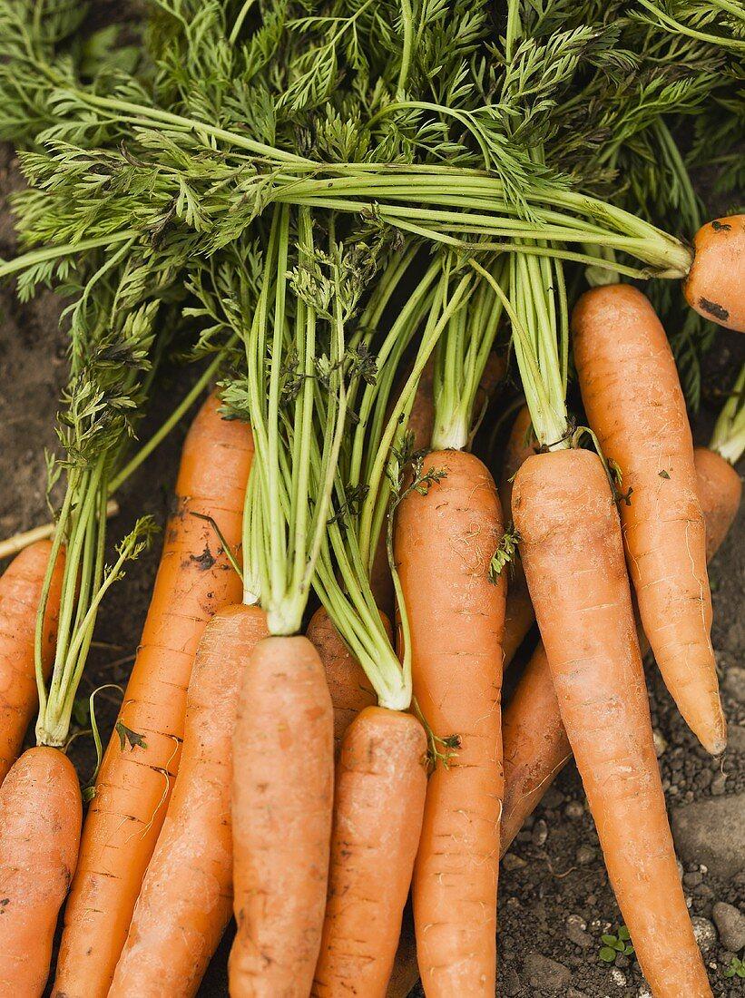 Organic carrots on soil