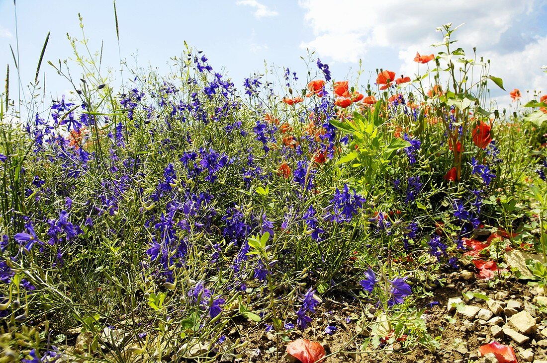 Larkspur and poppies growing wild
