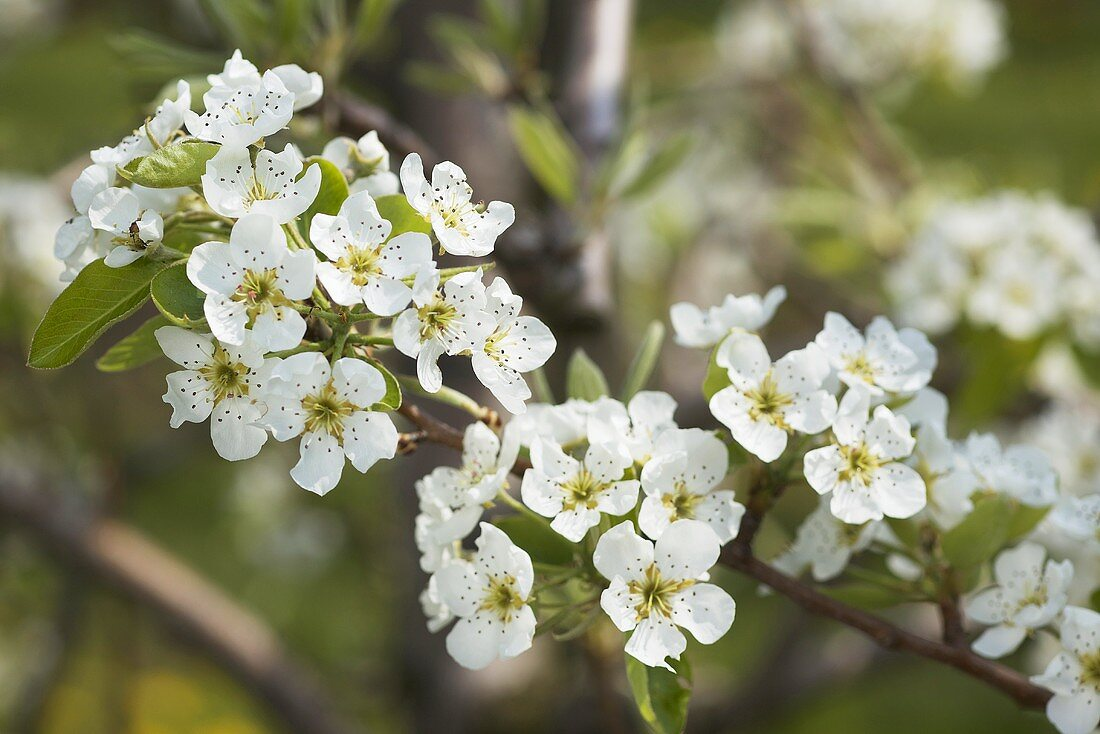 A sprig of pear blossoms (variety: Williams pear)