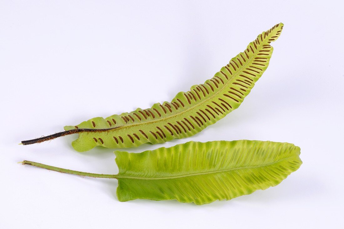 Two fronds of hart's tongue fern