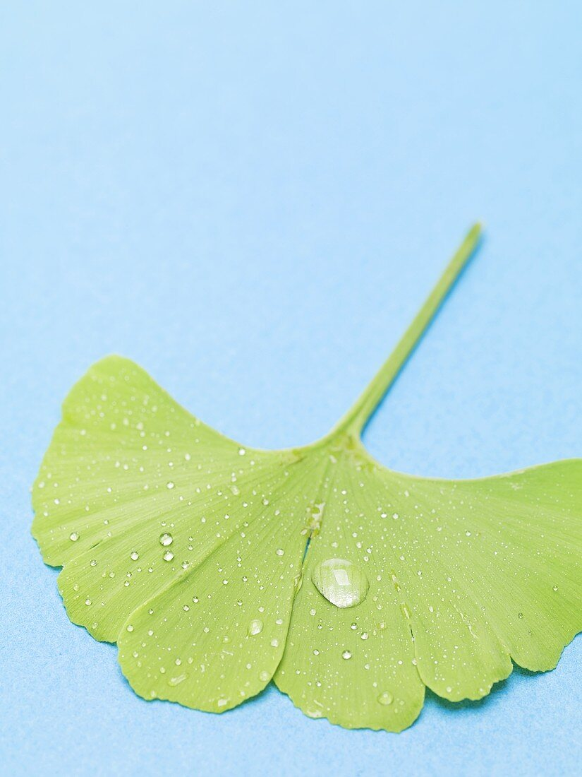 Gingko leaf with drops of water