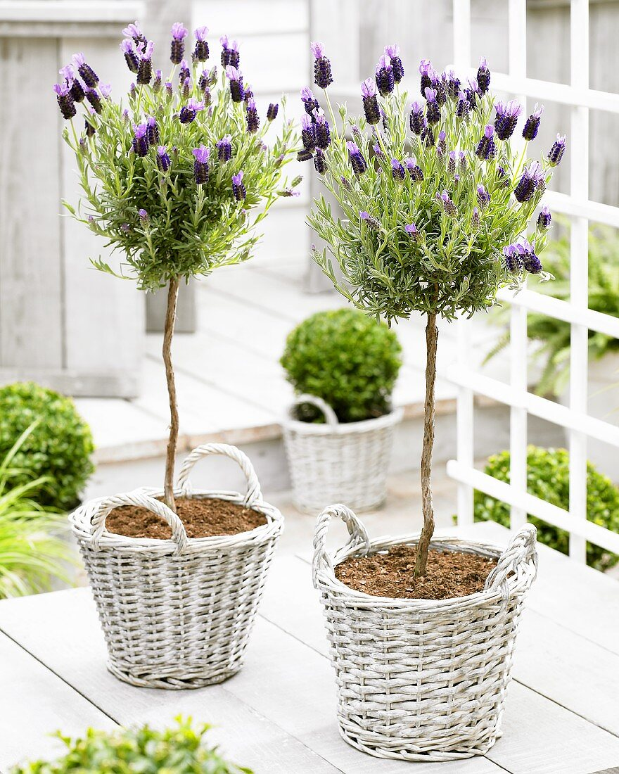 French lavender (Lavandula stoechas 'Anouk') on terrace