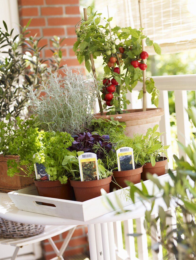 Various culinary herbs and tomato plant on a balcony