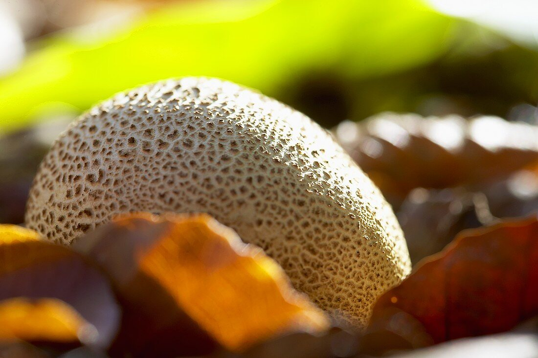 Common earthball (Scleroderma citrinum) among autumn leaves