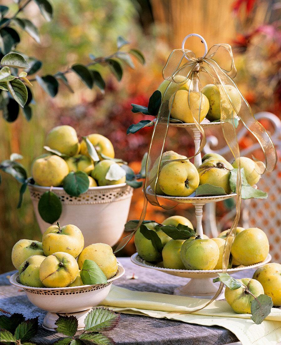 Apple quinces (Cydonia 'Konstantinopler')