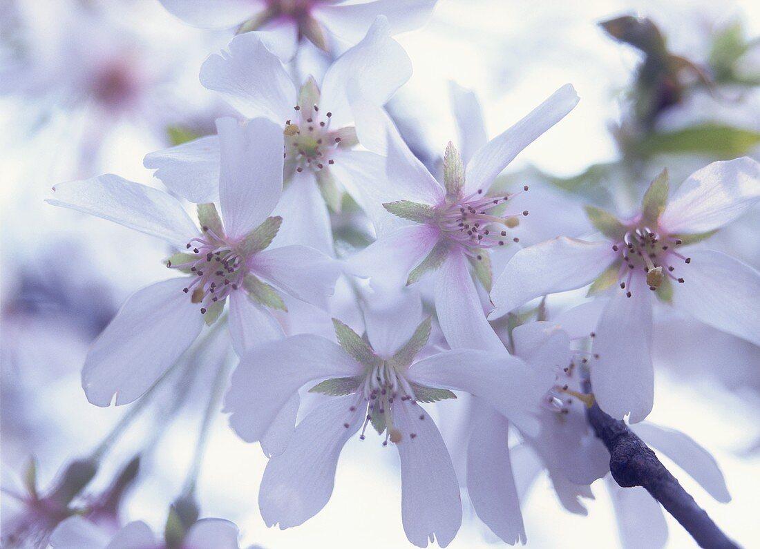 Flowering ornamental cherry (Yoshino cherry)