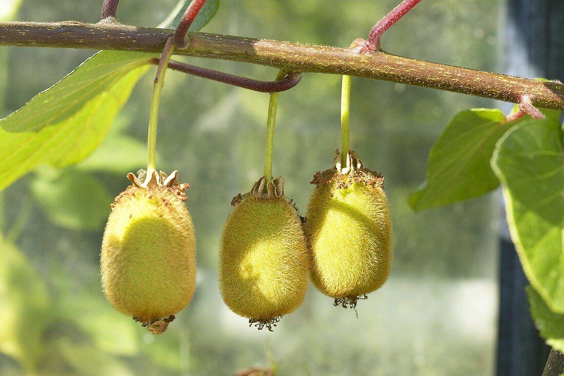 Kiwi fruit (Actinidia deliciosa) on the tree