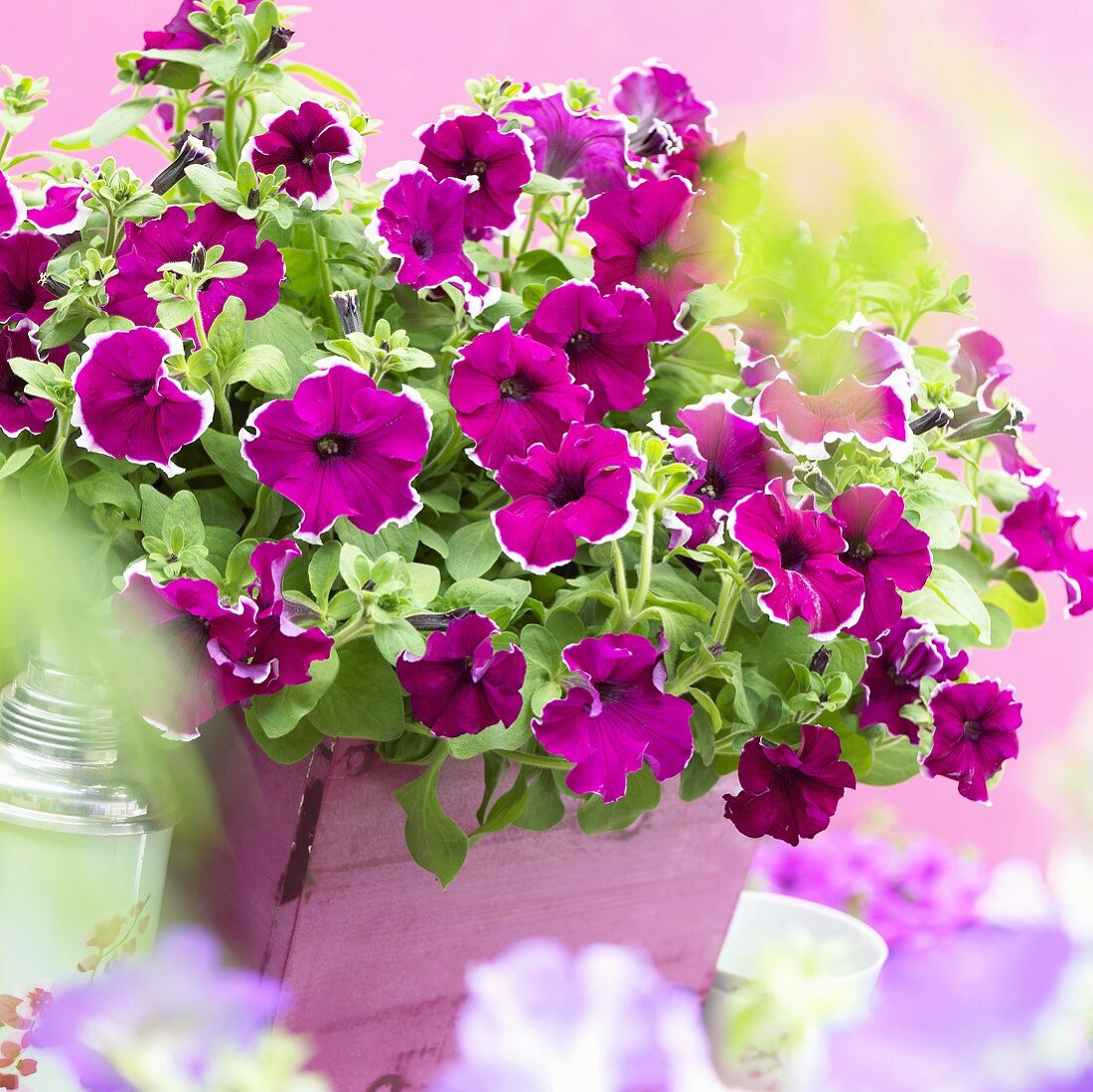 Petunia Viva 'Purple Picotee' in pink planter