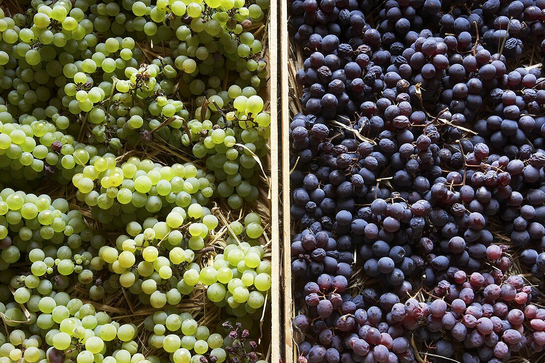 Poulsard & Savignin grapes (from the Jura) for straw wine