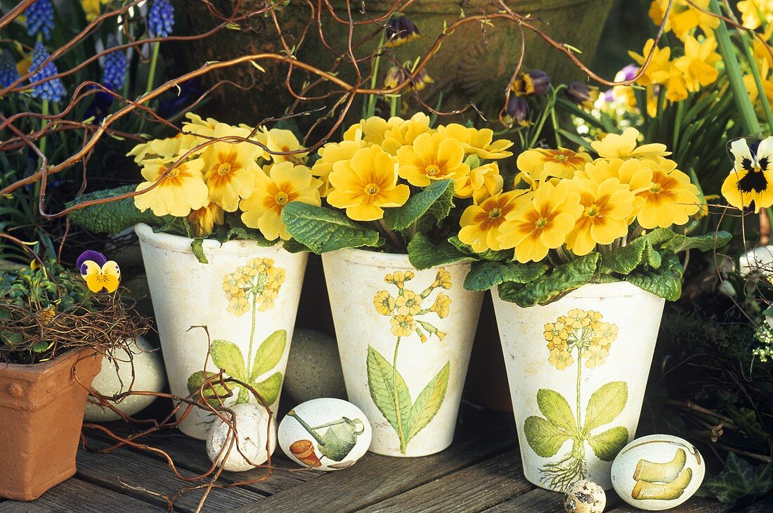 Yellow primulas in pots for Easter