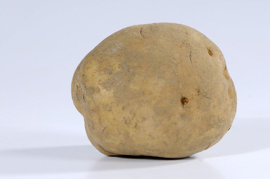 Eine Kartoffel (Sorte: Ackersegen)