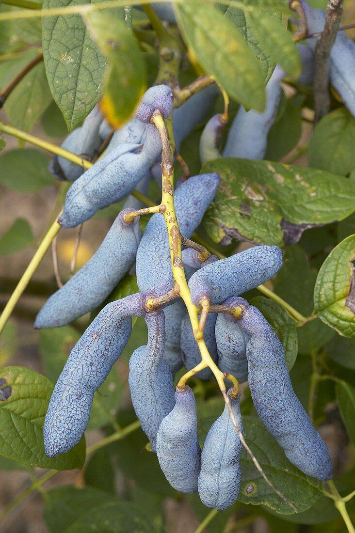 Blue sausage fruit (Decaisnea fargesii) on the bush