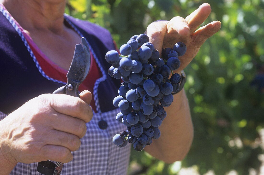 Woman holding freshly picked red wine grapes, Portugal