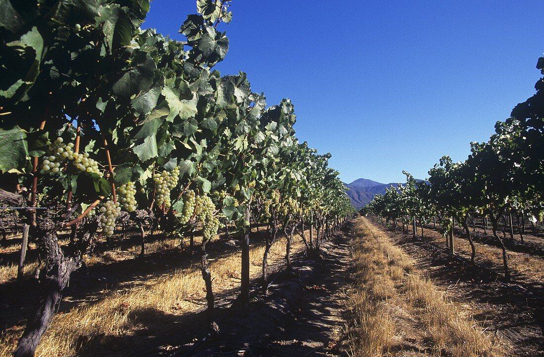 Vineyard of Concha y Toro Wine Estate, Casablanca, Chile