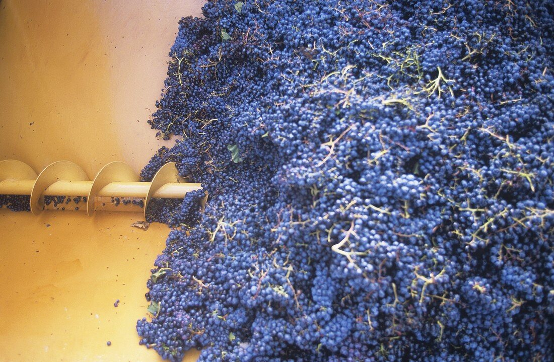 Grapes in screw conveyor, Tuscany