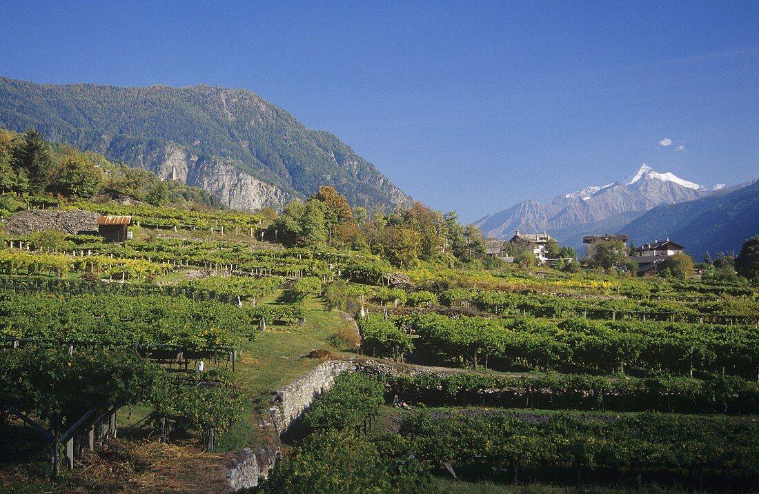 Pergola-trained vines near Morgex, Aosta Valley, Italy