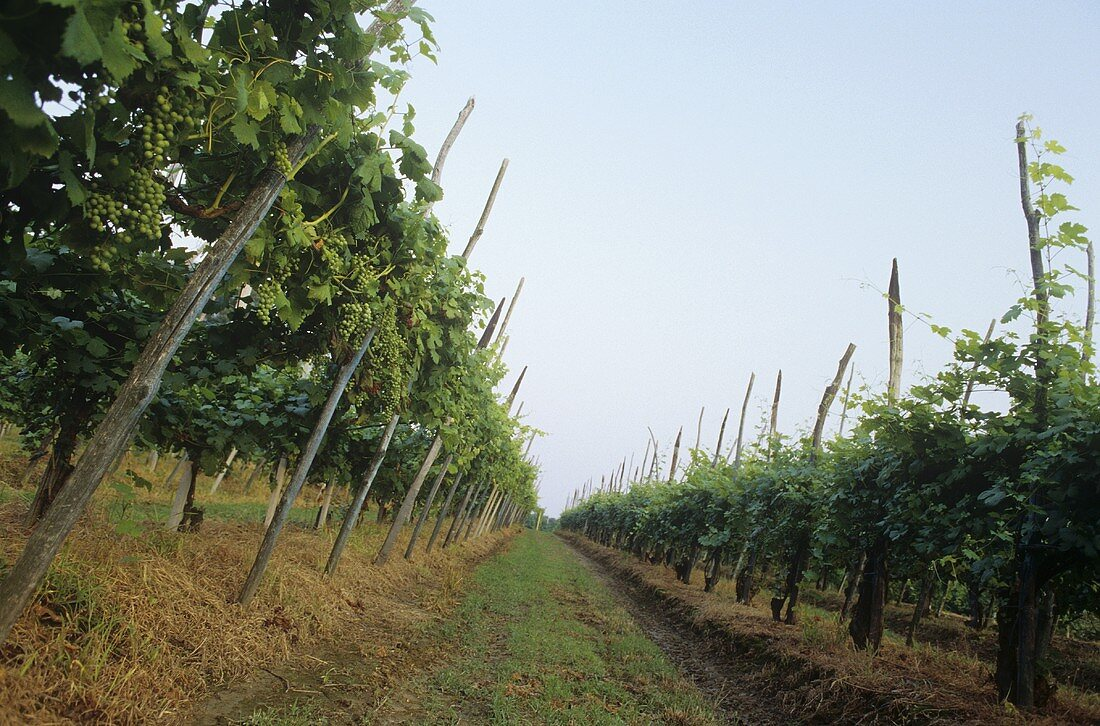 Rows of vines near Ghemme, Novara, Piedmont, Italy