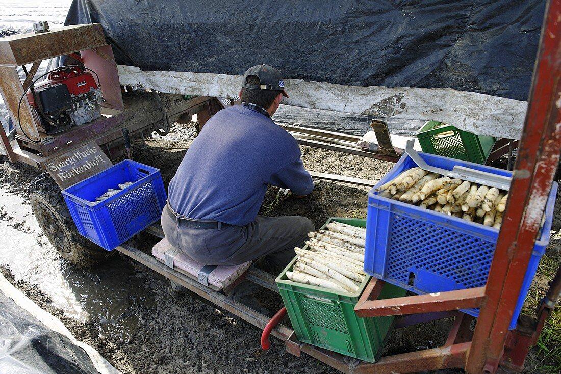 Asparagus harvest: man carrying basket of asparagus