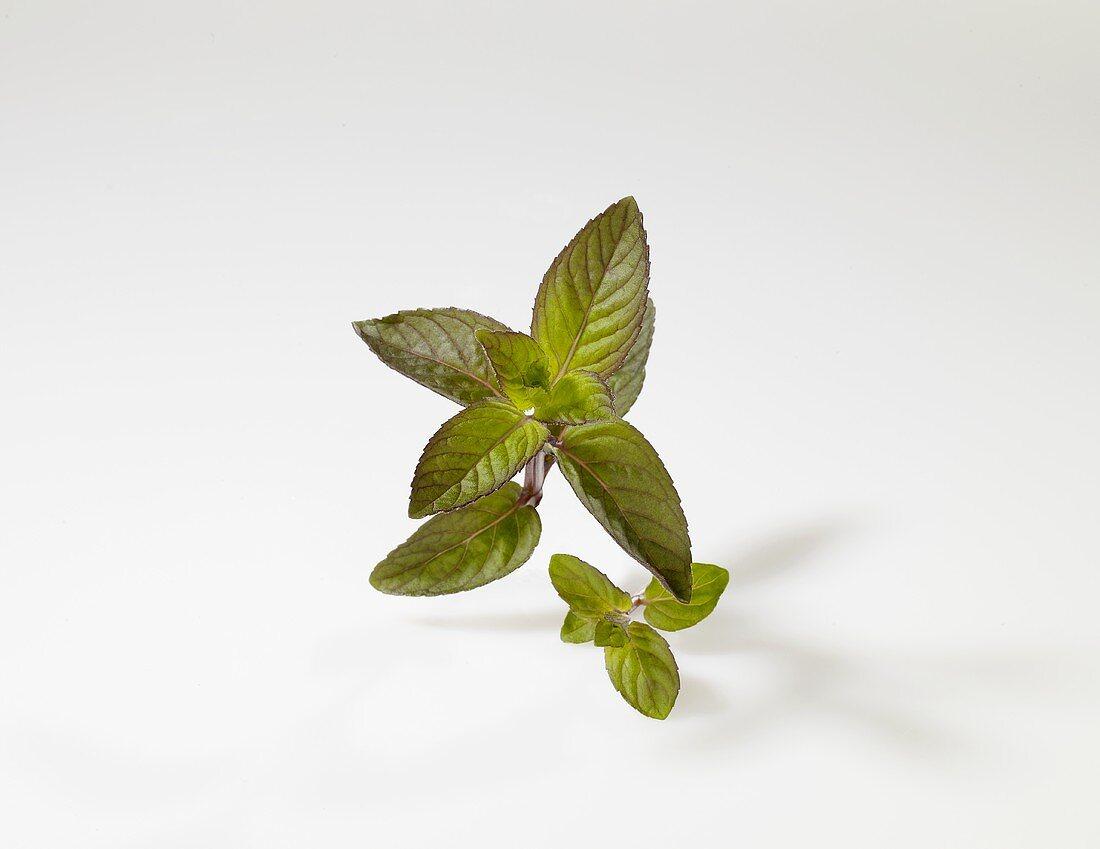 Chocolate mint (Mentha x piperita 'Chocolate')