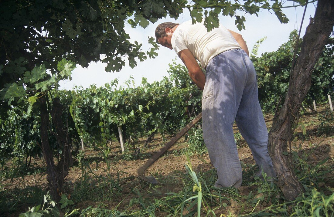 Cultivating the soil with a grub hoe, Rousse, Bulgaria